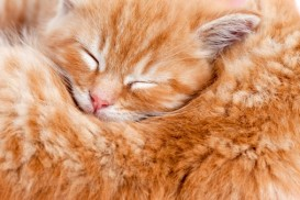 sweet sleeping ginger kitten