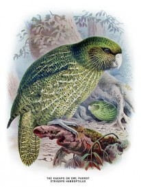 Kakapo, threatened bird  Credit: Wikimedia Commons
