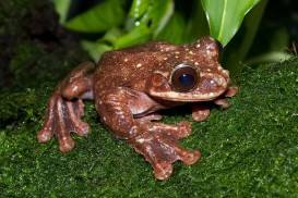 Rabb's Fringe-Limbed Treefrog - Only one known male exists today in Zoo Atlanta.   Image credit: Wikimedia Commons