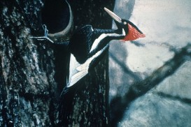 Ivory-billed_Woodpecker_by_Jerry_A._Payne
