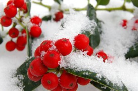 Holly berry with snow