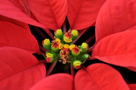Red Poinsettia Flowers Closeup
