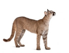 Puma cub, Puma concolor, 1 year old, standing and looking up against white background, studio shot