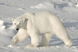 adult snow white polar bear