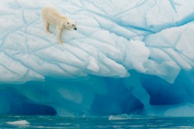 polar bear on turquiose ice