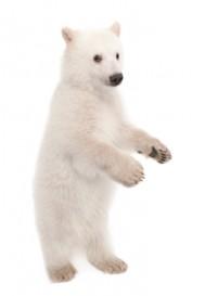polar cub standing