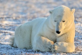 praying for polar bears, an endangered species
