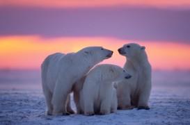 sunet polar bears