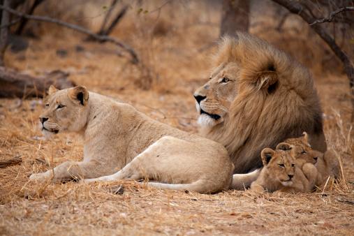 lion family Lion Family