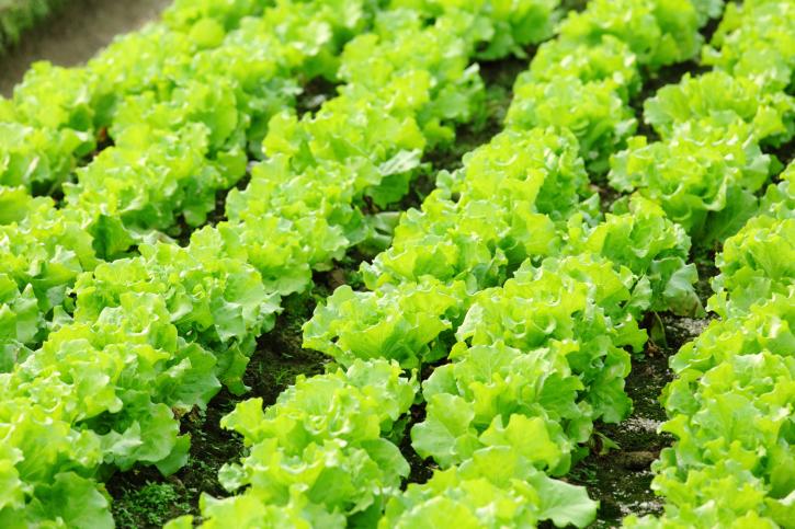 Spring Veggies Lettuce