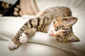 tiger tabby kitten