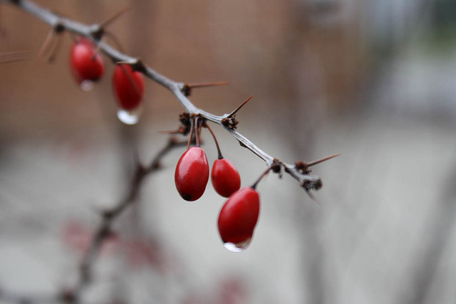 Japanese barberry berries in late fall by AnneHeathen via Flickr