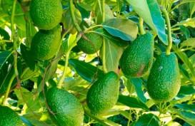 avocados growing