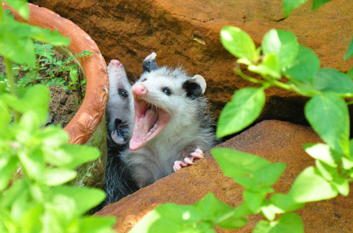 10 Reasons To Love Opossums   Care2 Healthy Living