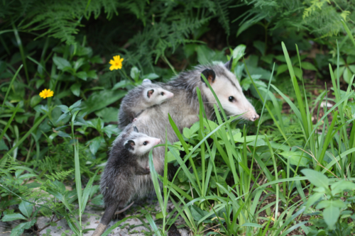 10 Reasons To Love Opossums | Care2 Healthy Living