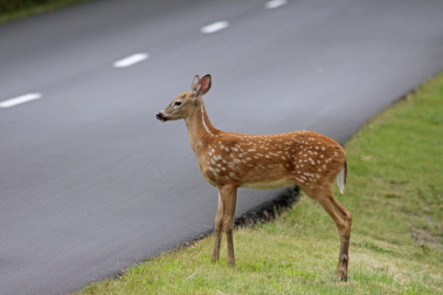 wildlife and car accidents