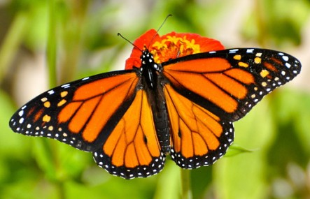 monarch butterfly threatened by Monsanto