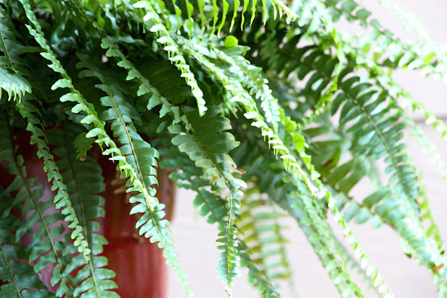 Boston Fern | 20 House Plants That Clear Toxins From the Air