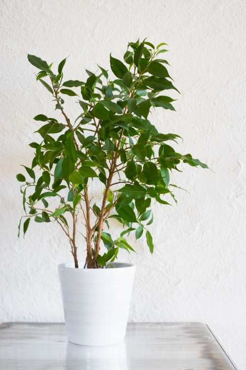 Weeping Fig | 20 House Plants That Clear Toxins from the Air