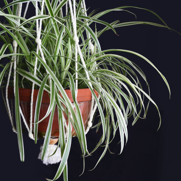 Spider Plant | 20 House Plants That Clear Toxins From Your Home