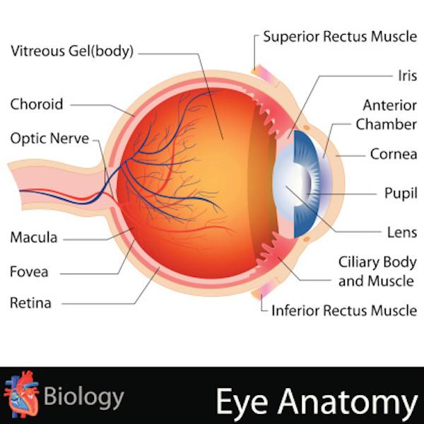 anatomy of the human eye