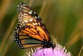 Monarch butterfly (Photo by NCC)