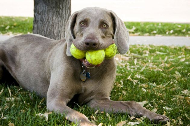 Dog Tennis Ball