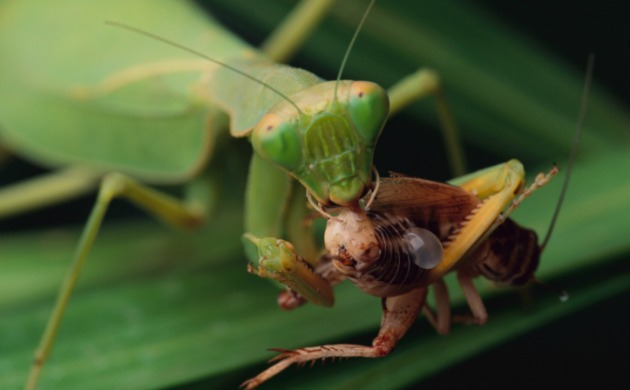 Mantis eating sized