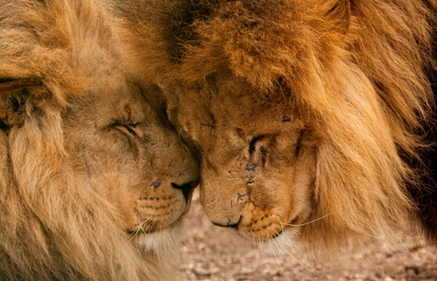 Lions nuzzling s