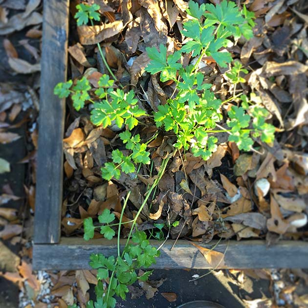 You can grow this herb all winter long!