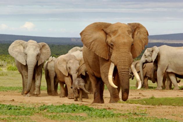 Elephant group s