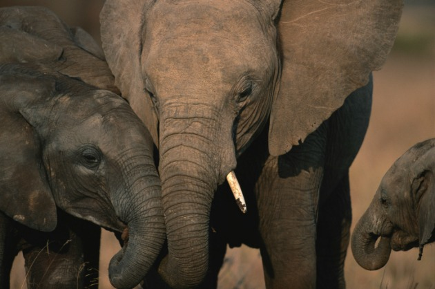 Elephant mother and baby s