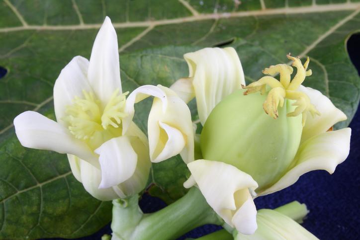 Young papaya flower