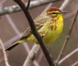 Palm warbler (Photo by Marshall Faintich)