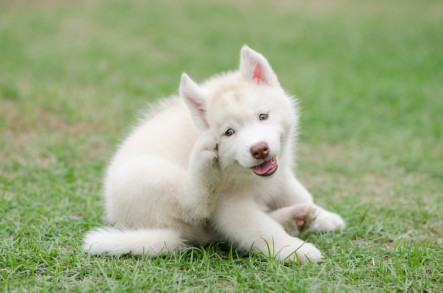 Cute siberian husky puppy scratching