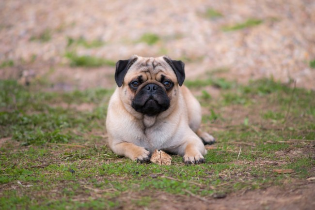 Pug puppy lying on the grass with a bone
