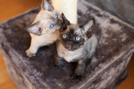 Cute devon rex kittens