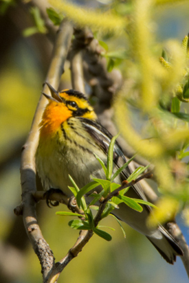 Blackburnian warbler (Photo by Claire Elliott/NCC staff)