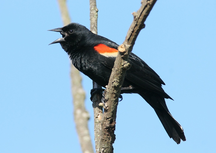 Red-winged blackbird (Photo by Bill Hubick)