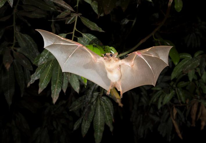 Gambian epauletted fruit bat (Epomophorus gambianus) flying at night.