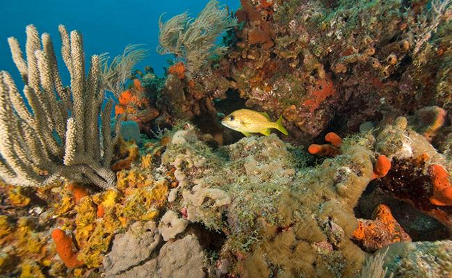 Tropical Reef Grunt
