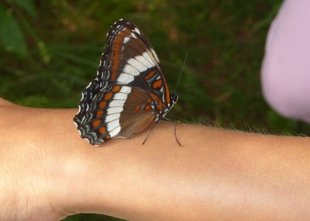 A real-life Butterfree? This is a white admiral butterfly spotted at the Happy Valley Forest (Photo by NCC)