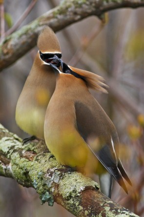 Cedar waxwing (Photo by Brendan Toews)