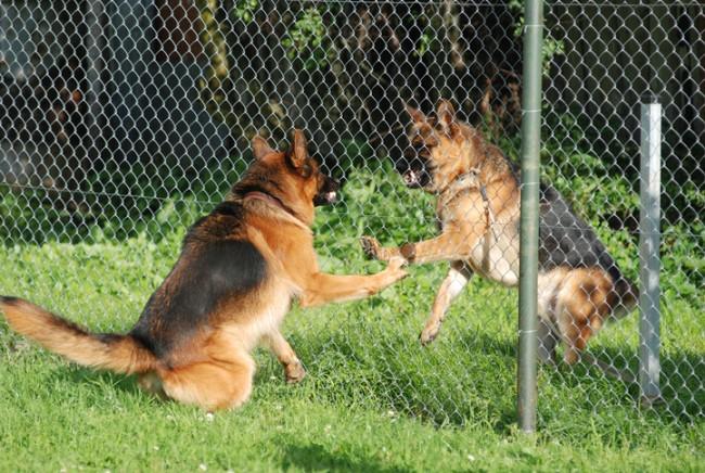 Barking German Shepherds behind the fence