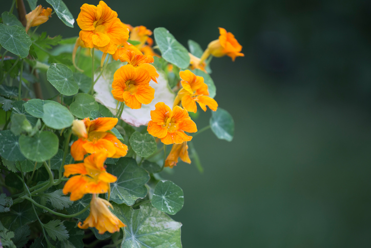 How to Cook With Edible Flowers