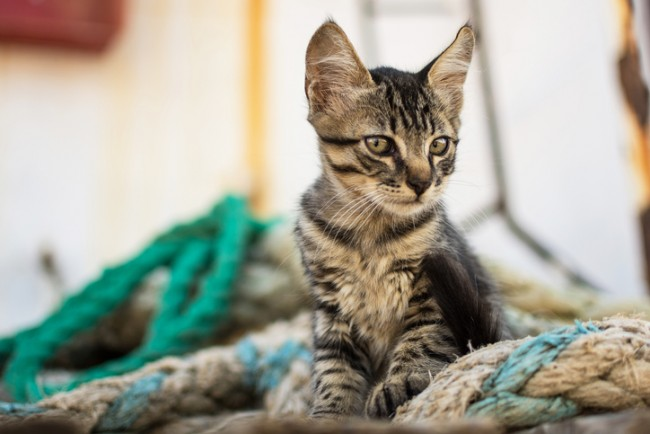 Cute Tabby Cat on Old Wooden Pallet and Navy Ropes