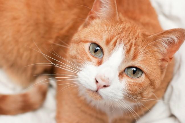 Orange and White Tabby Cat Portrait