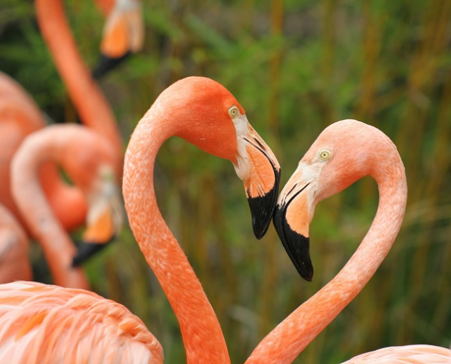 Пара фламинго