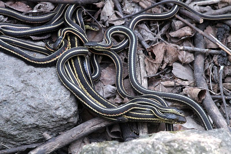 Red-sided garter snakes (Photo by Greg Schechter)
