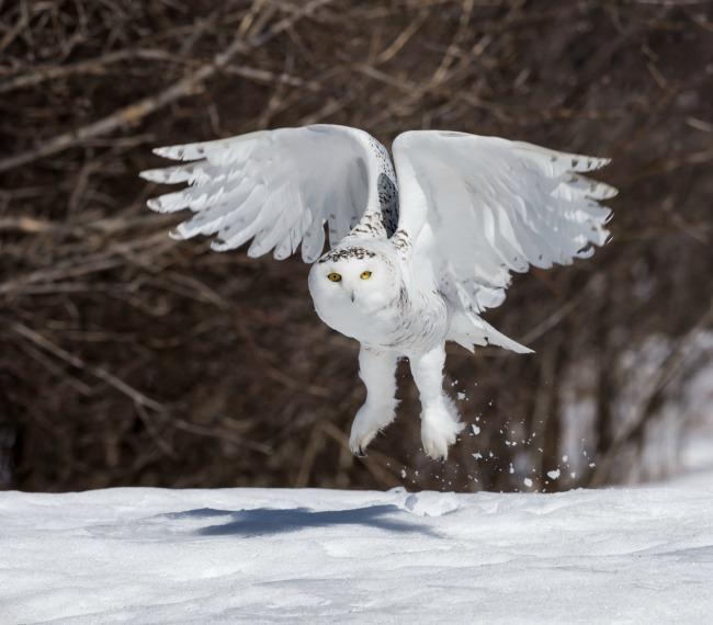 Полет снежной совы